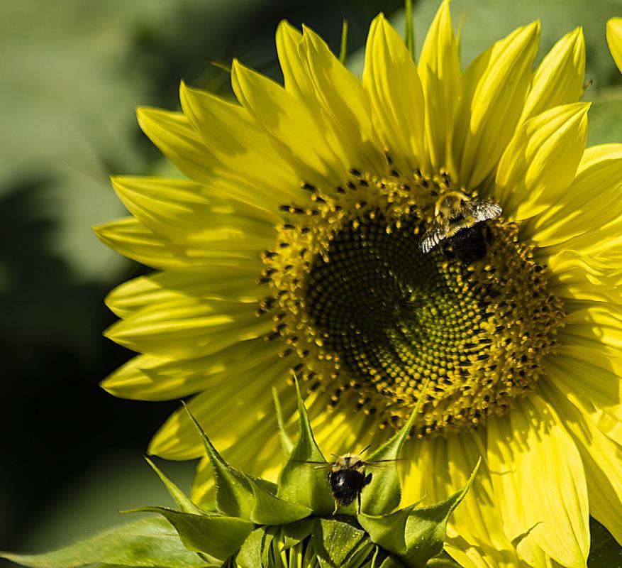 gerry-boretta-sunflower-shoot-9