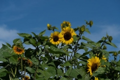 Francis-Sunflowers-07