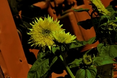 gerry-boretta-sunflower-shoot-5