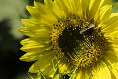 gerry-boretta-sunflower-shoot-9