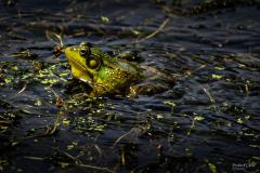 Michael-Chin-American-bullfrog