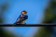 Michael-Chin-Barn-swallow
