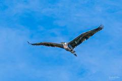 Michael-Chin-Blue-heron