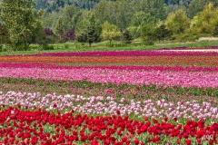 AGG_Tulips_2
